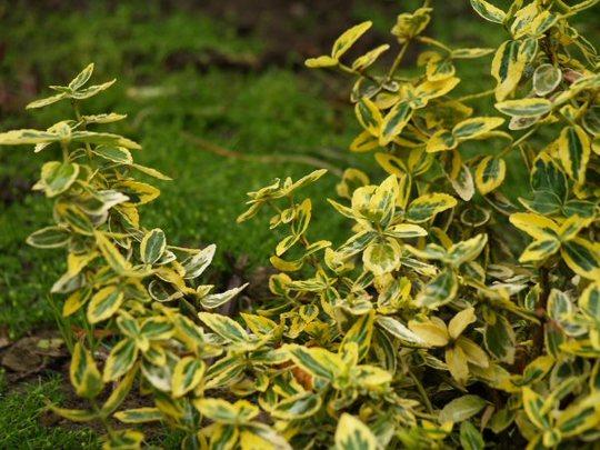 Euonymus 'Emerald n Gold' (Euonymus Emerald n Gold)