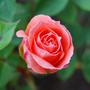 Patio Rose Flower Power