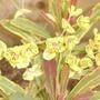 Euphorbia x martini 'Ascot Rainbow'  (I think!)