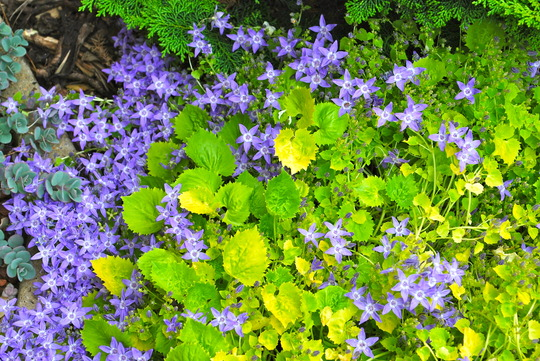 Campanula Dickson's Gold. (Campanula garganica (Adriatic bellflower) Dicksons Gold.)