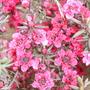 Leptospermum scoparium 'Crimson Glory'