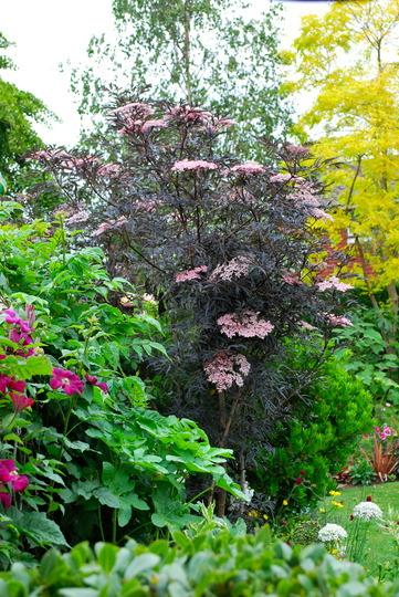 Sambucus Black Lace. (Sambucus nigra (Common elder) Black Lace)