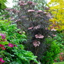 Sambucus Black Lace. (Sambucus nigra (Common elder) Black Lace)