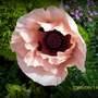 Princess Victoria louise   Oriental Poppy