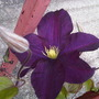 Clematis in bloom!