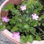Alpine in pot!! Erodium