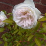 Inherited Rose?? Again no idea of name