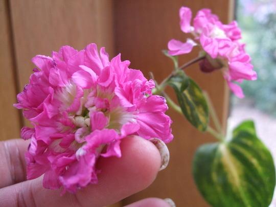 Silene dioica 'Flore Pleno' (Silene dioica 'Flore Plena')