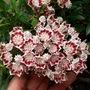 Minuet Mountain Laurel (Kalmia latifolia (Calico bush))