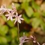 """Tulbaghia violacea """"Fairy Star"""" (Tulbaghia violacea (Tulbaghia))"""