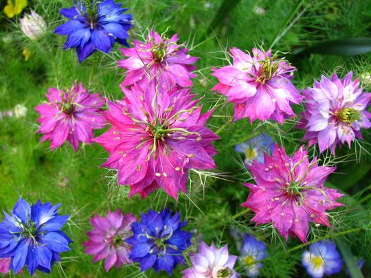 Nigella  'oxford blue' and 'red jewel'
