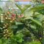 Berries on the amalanchia before the pigeons get them!!