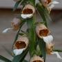 Digitalis lanata (Grecian foxglove)