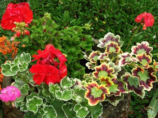 Geraniums loved the rain