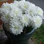 White Crysanthemum