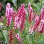 Persicaria affinis 'Darjeling Red' (Persicaria affinis)