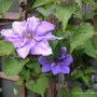 "Clematis 'William Kennett' (Clematis ""William Kennett"")"