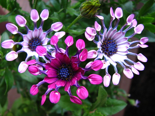'whirligig'  cape daisies