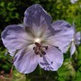 Unknown perennial geranium
