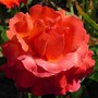 Floribunda rose 'Easy Does It' (Rosa 'Easy Does It')
