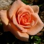 Miniature rose 'Loving Touch' (Rosa 'Loving Touch')