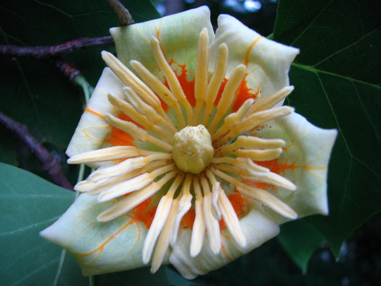 poplar tree bloom