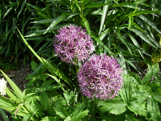 Alliums Christophii