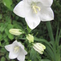 White campanula (Campanula latifolia (Bellflower))