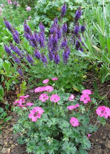 Salvia 'Marcus' & Geranium 'Memories' (Salvia nemorosa 'Marcus')