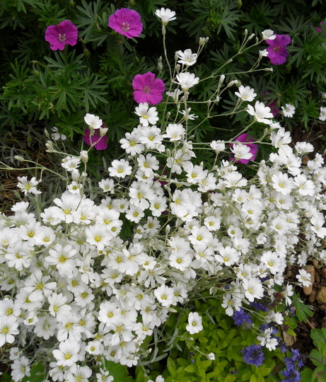 Cerastium tomentosum & Geranium sanguineum  (Cerastium Tomentosum)