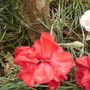 Dianthus 'Claret Joy' close up 07.08 (Dianthus 'Claret Joy')