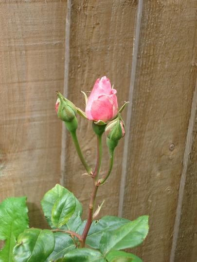 Rose, 'Sir Cliff Richard'