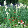 Siberian Iris and Lychnis (Iris sibirica (Siberian iris))