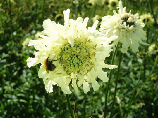 Cephalaria Gigantea (giant scabious) (Cephalaria gigantea (Giant scabious))