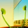 Flycatcher-Dionaea muscipula