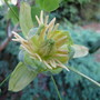 Variegated_liriodendron_tulipifera_flower_june_2011
