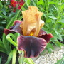 Iris germanica (Orris)