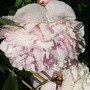 Paeony after the rain (Paeonia)
