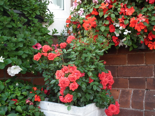 My little red rose looks well this year