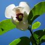 Magnolia sieboldii (Flower) (Magnolia sieboldii)
