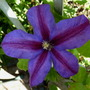 Clematis_mrs_n_thompson