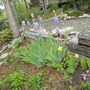 Spring iris and columbine