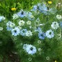Nigella Love-in-a-mist one of my favorite self seeders great for space filling (Nigella damascena)