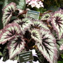 Shrewsbury flower show 2007 (Begonia)