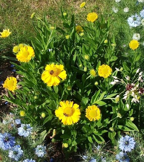 Helenium autumn premium Magnificum  (Helenium autumn  premium magnificum)