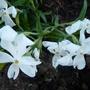 Phlox Calvides White (Phlox Calvides white)