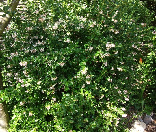 Escallonia Apple Blossom (Escallonia Apple blossom)