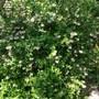Escallonia_apple_blossom