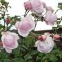 Rosa `Aloha`