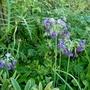 Primula (Primula alpicola (Moonlight Primrose))